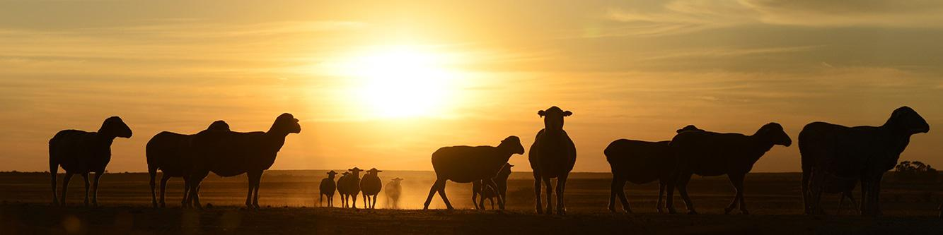 Nieuwoudtville Skape Sheep Picture: Sophia van Taak. COPYRIGHT M24